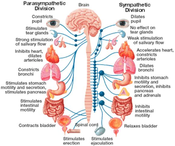 the structure of the autonomic nervous system and its effects to physiological and behavioral functi The autonomic system is the part of the peripheral nervous system that is  regulates involuntary body functions including digestion and heartbeat  the  structure of the autonomic nervous system  acetylcholine is often used in the  parasympathetic system to have an inhibiting effect while norepinephrine.